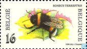 Buff-tailed Bumblebee