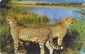 Cheeta (Acinonyx jubatus)