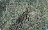 Serval (leptailurus serval)