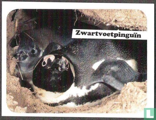 WWF - Zwartvoetpinguïn