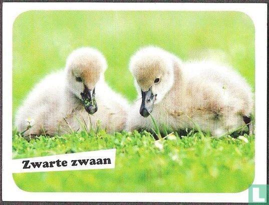 WWF - Zwarte zwaan