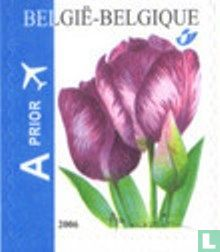 Belgique [BEL] - tulipe Rembrandt