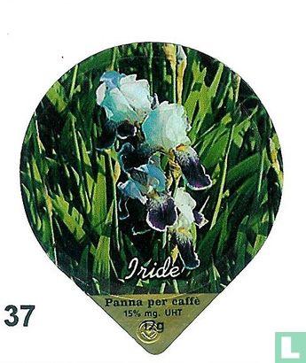 Blumen Iris