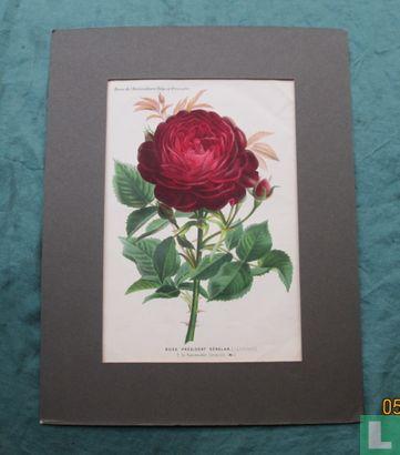 Rose President Senelar Roos  - Afbeelding 1
