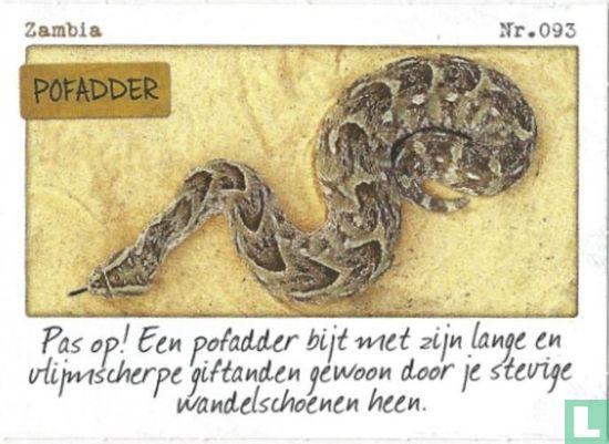 Albert Heijn - Zambia - Pofadder