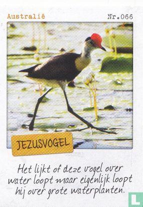 Albert Heijn - Australië - Jezusvogel