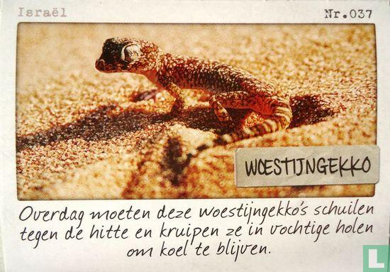 Albert Heijn - Israël - Woestijngekko