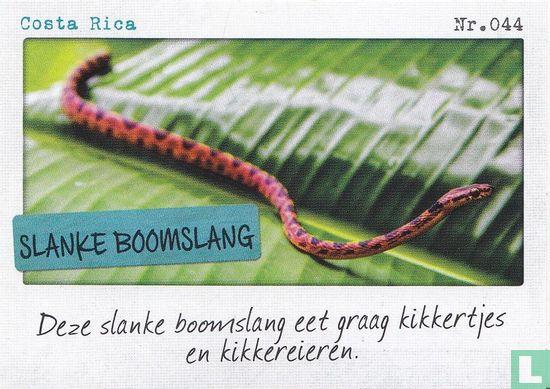 Albert Heijn - Costa Rica - Slanke boomslang