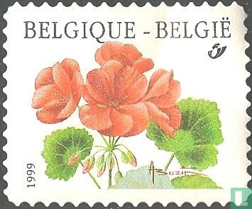 "Belgium [BEL] - Pelargonium F1 Zonale ""Matador"""