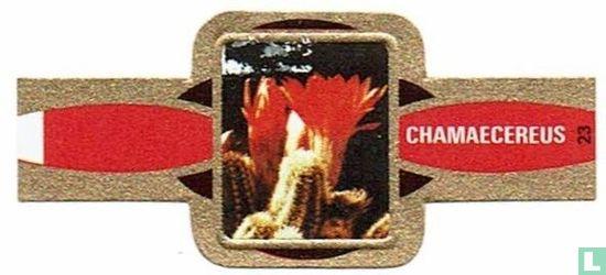 Taf - Chamaecereus