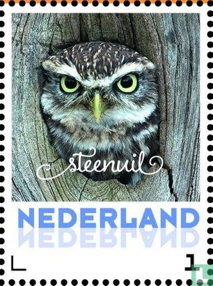 Netherlands [NLD] - Little owl