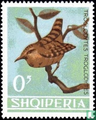 Albanien [ALB] - Zaunkönig