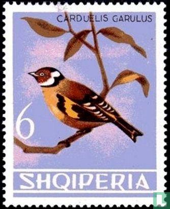Albanien [ALB] - Stieglitz