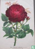 Rose President Senelar Roos  - Afbeelding 2
