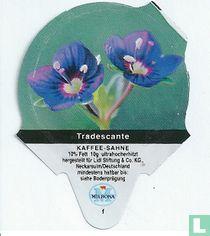 Heimische Blumen - Tradescante