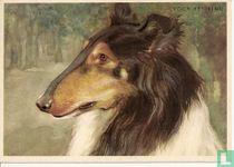 voor het kind-Hond: collie(schotse herder)
