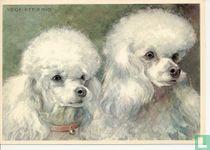 voor het kind-Hond: dwergpoedels