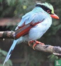 Corvidae (Kraaiachtigen) naturalia catalogus