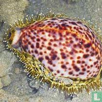 Cypraeidae (Kaurischnecken) naturalien katalog