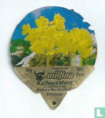 Milfina - Felsenaurikel