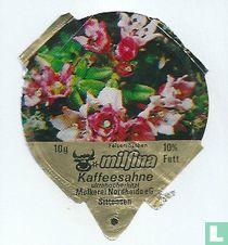 Milfina - Felsenröschen