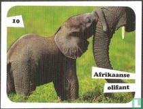 Afrikaanse olifant 10