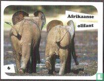 Afrikaanse olifant 6