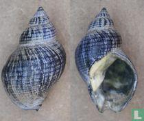 Buccinum undatum (Fossiel)