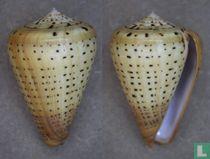 Conus suratensis