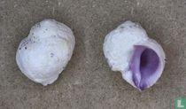 Coralliophila violacea