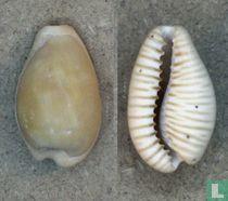 Cypraeovula fuscodentata