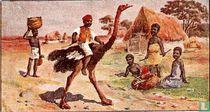 Struisvogel - Midden-Afrika.