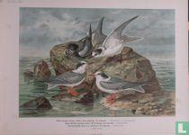Sternen (Zeezwaluwen)