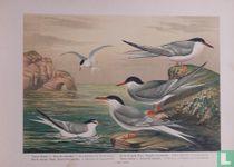 Sternen (Zeezwaluwen) VI