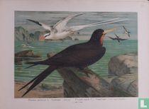 Roodsnavelkeerkringvogel en de Fregatvogel