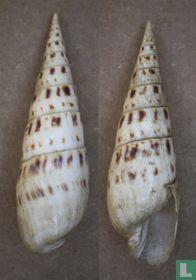 Oxymeris maculata