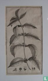 Tak van een koffy boom met zyne bloemen en vruchten