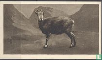 Burrhel Sheep