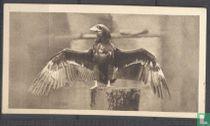 The Bateleur Eagle