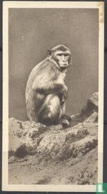 The Common Monkey or Macaque