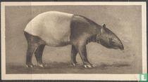 The Malay Tapir