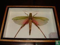 Lamprima Adolphsinae - 17,5 x 12,5 cm