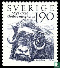 Moschusochse (Ovibos moschatus)
