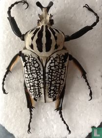Goliathus Orientalis male