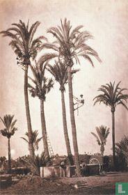 Biblioteca Nacional 'Elche (Alicante) palms and gardeners, between 1865-1870'