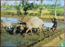 Ploughing Ricefields  (Omploegen Rijstveld)  Membadjak Disawah
