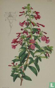 Botanische prent litho Fuchsia