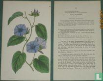 Botanische prent  Jacquemontia