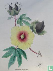 Botanische prent Katoen  GOSSYPIUM  HERBACEUM  The  Common Cotton Tree