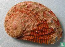 Haliotis crebrisculpta